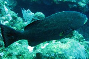 IMG_4004 grouper
