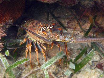 IMG_4122 lobster