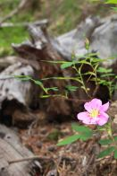 IMG_5477 wild rose