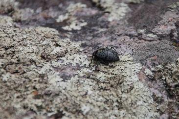 IMG_5517 beetle