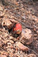 IMG_5689-1 red shroom