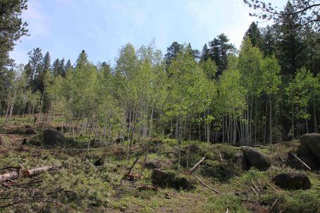 aspen on segment 3 of the colorado trail
