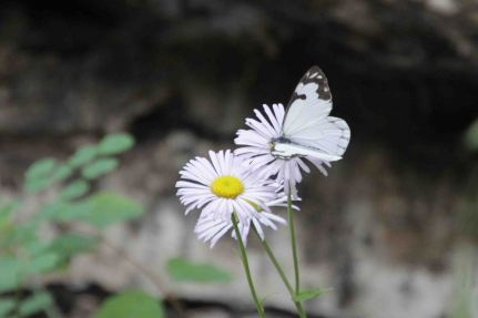 white butterfly on daisy