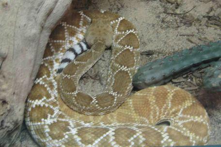 IMG_6202 rattle snake
