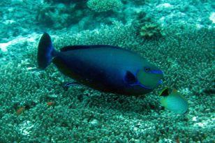 IMG_0296 parrotfish
