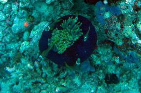 IMG_0307 clownfish