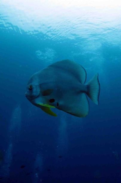 photo1430311261384 batfish