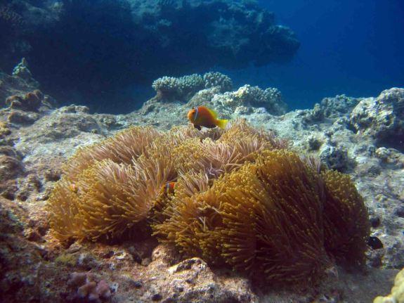 photo1430314592356 clownfish