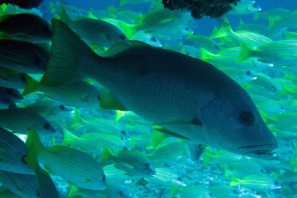 photo1430315405542 grouper