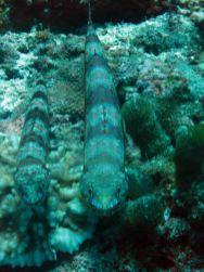 lizardfish