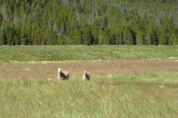 sheep on the Colorado Trail