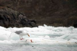 IMG_8388 glacous gull adventuresofacouchsurfer