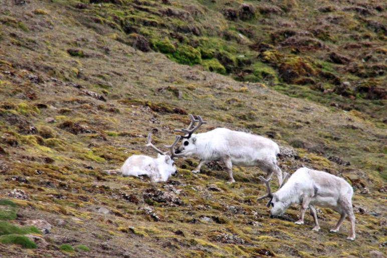 reindeer in the arctic