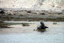 IMG_0320 harbor seal adventuresofacouchsurfer