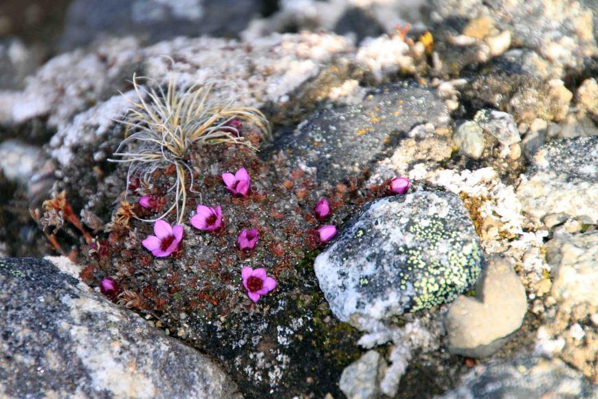 purple saxifrage at Bockfjorden