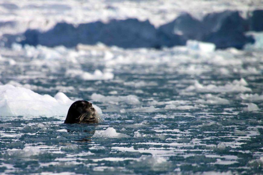 bearded seal swimming at Monacobreen