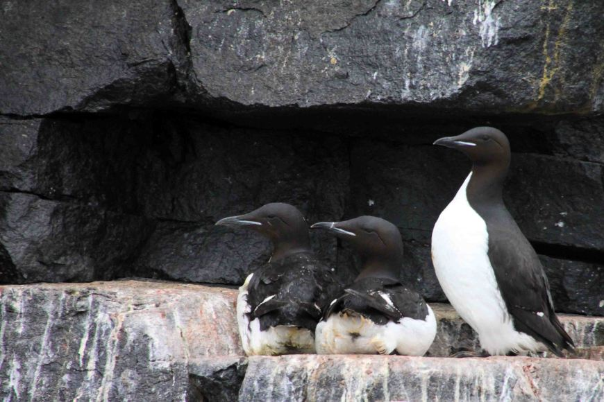 guillemots at Allkefjellet