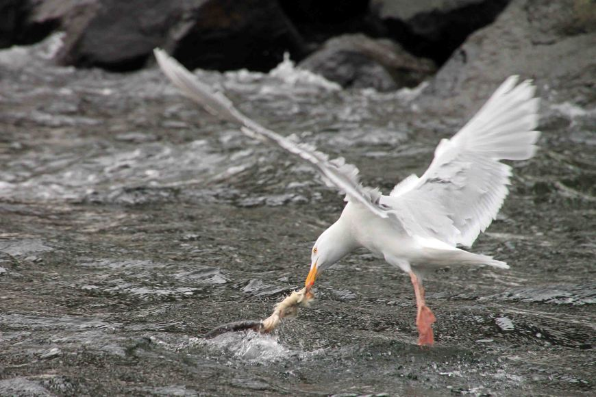 glaucous gull and kill