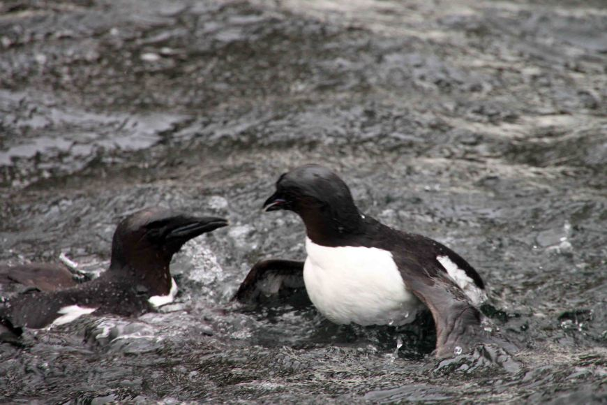 fighting guillemots