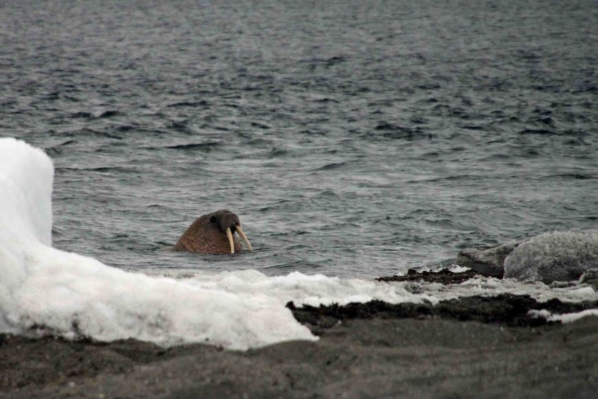 walrus in the arctic water