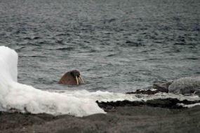 IMG_8783 walrus 2