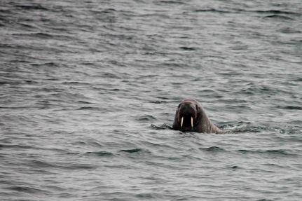 IMG_8792 walrus