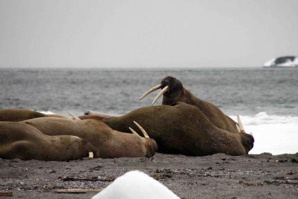 IMG_8798 walrus