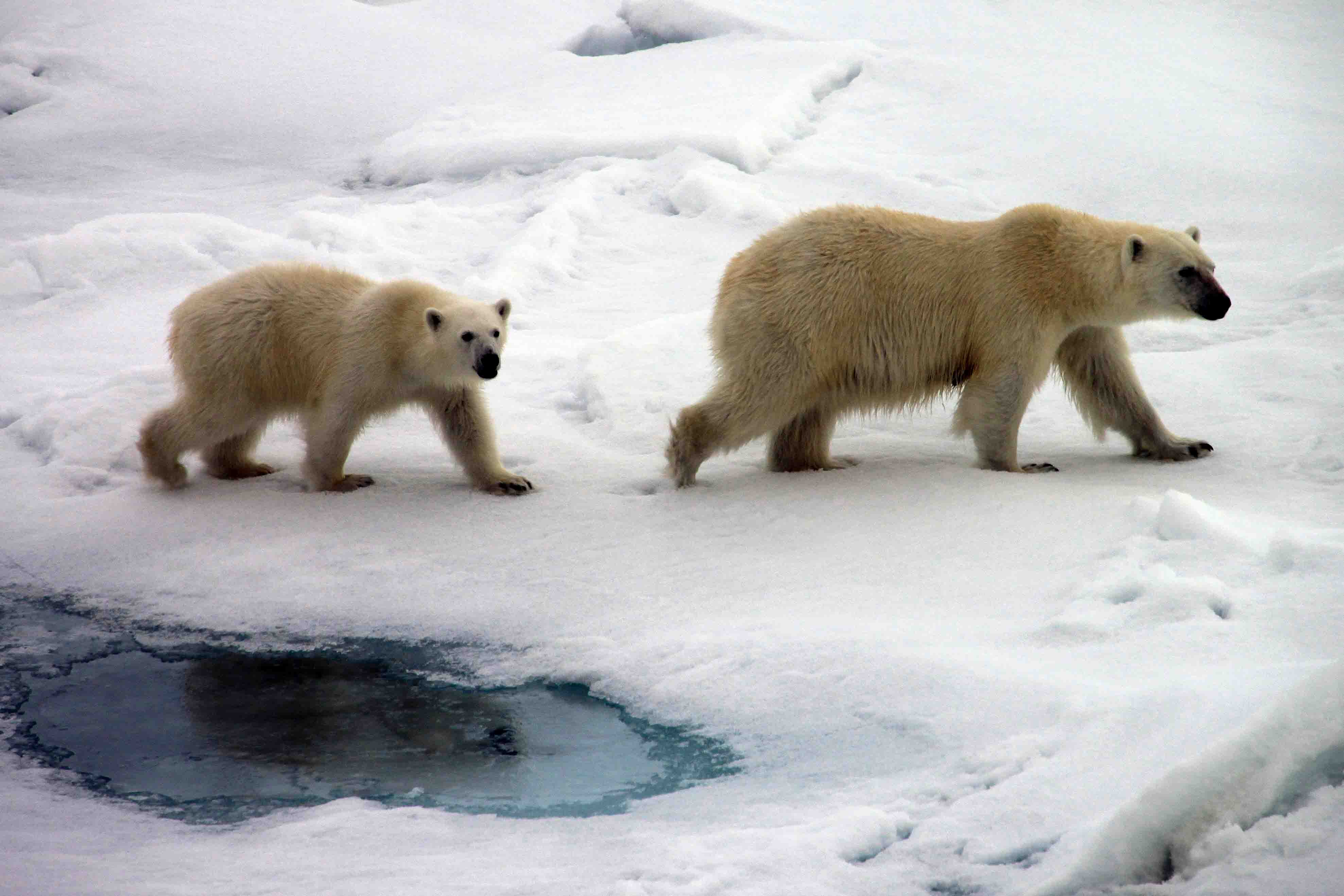 polar bear mama and cub