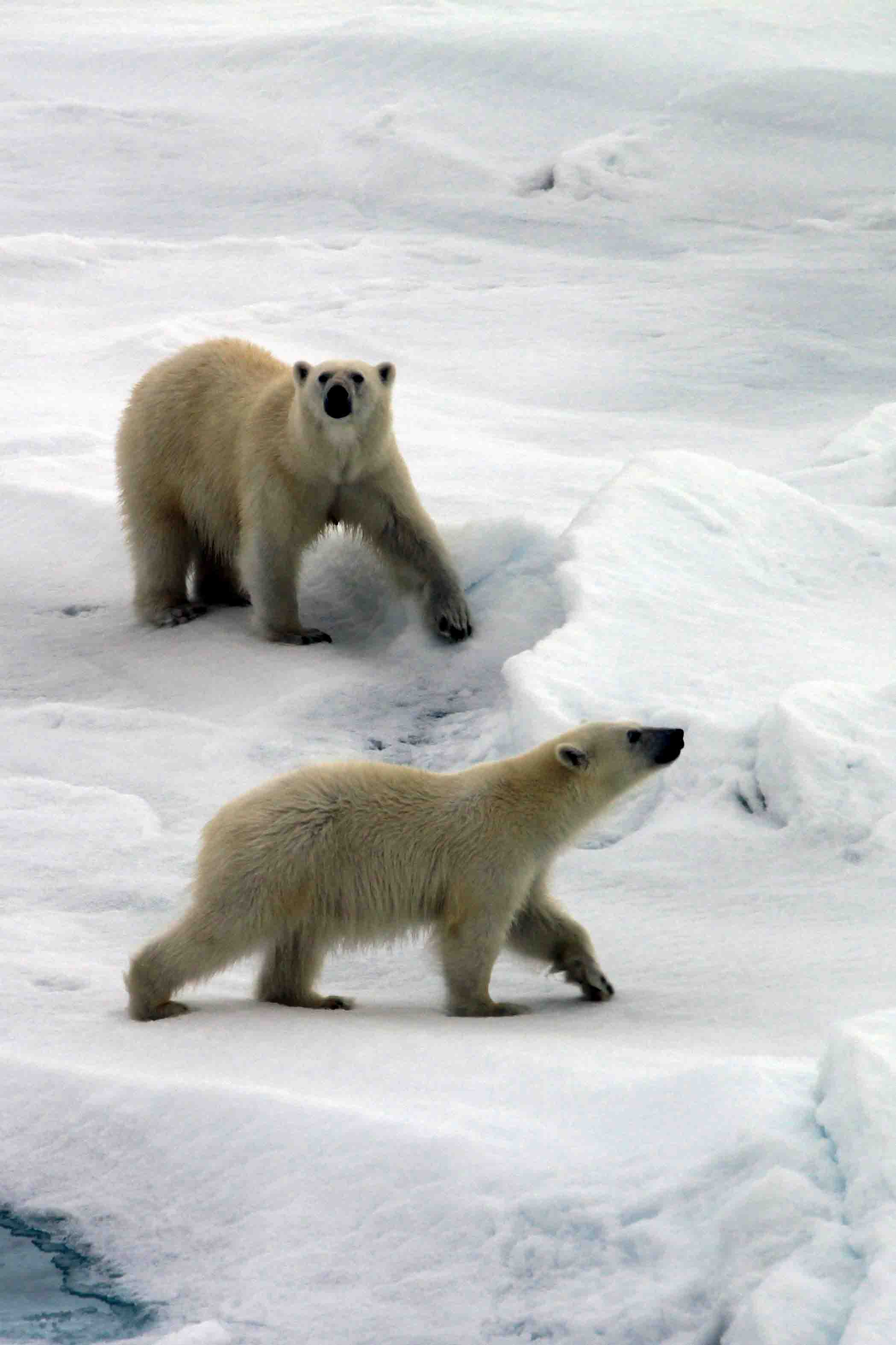 polar bear mama and cub sniffing
