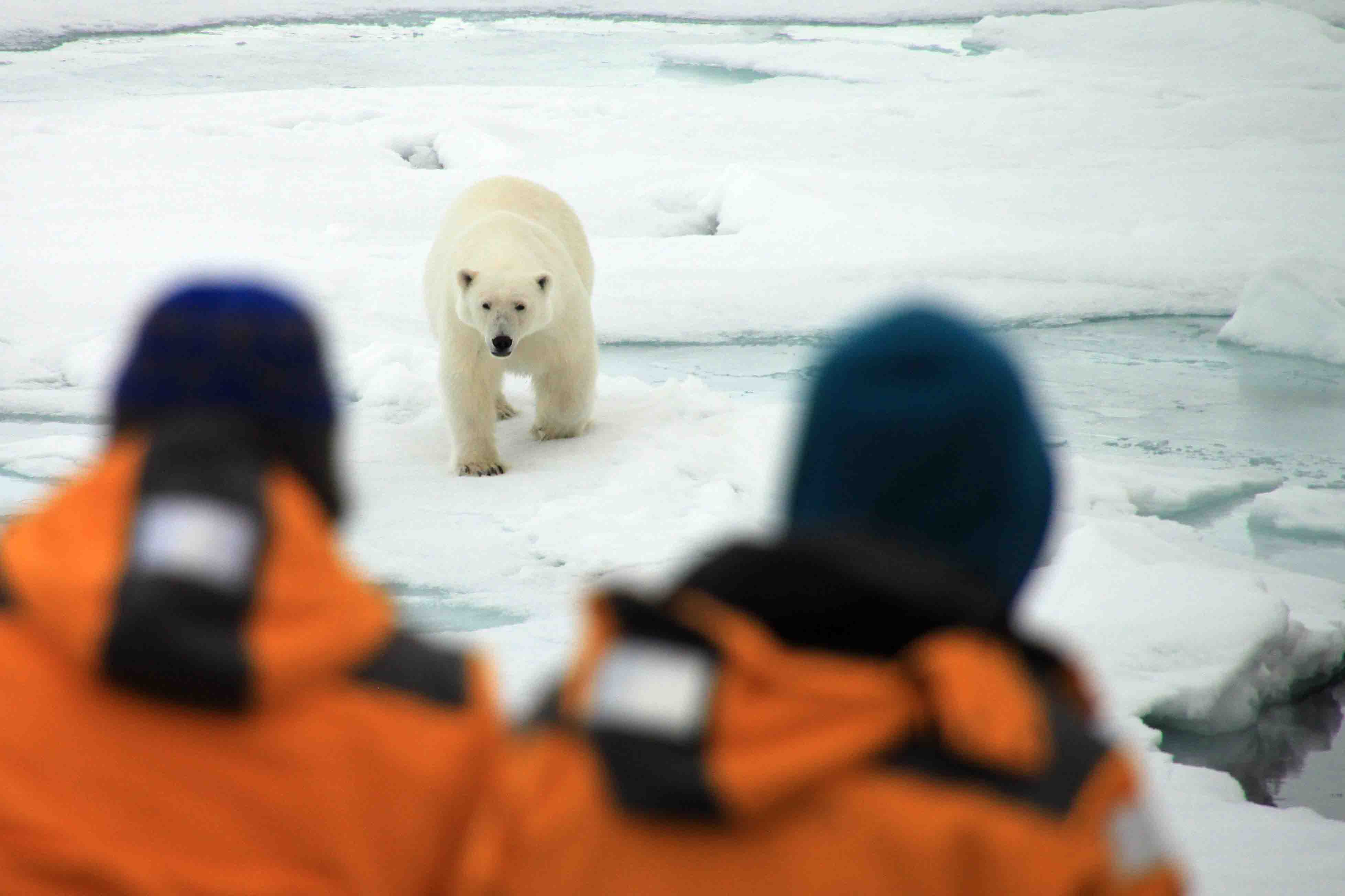 polar bear with tourists