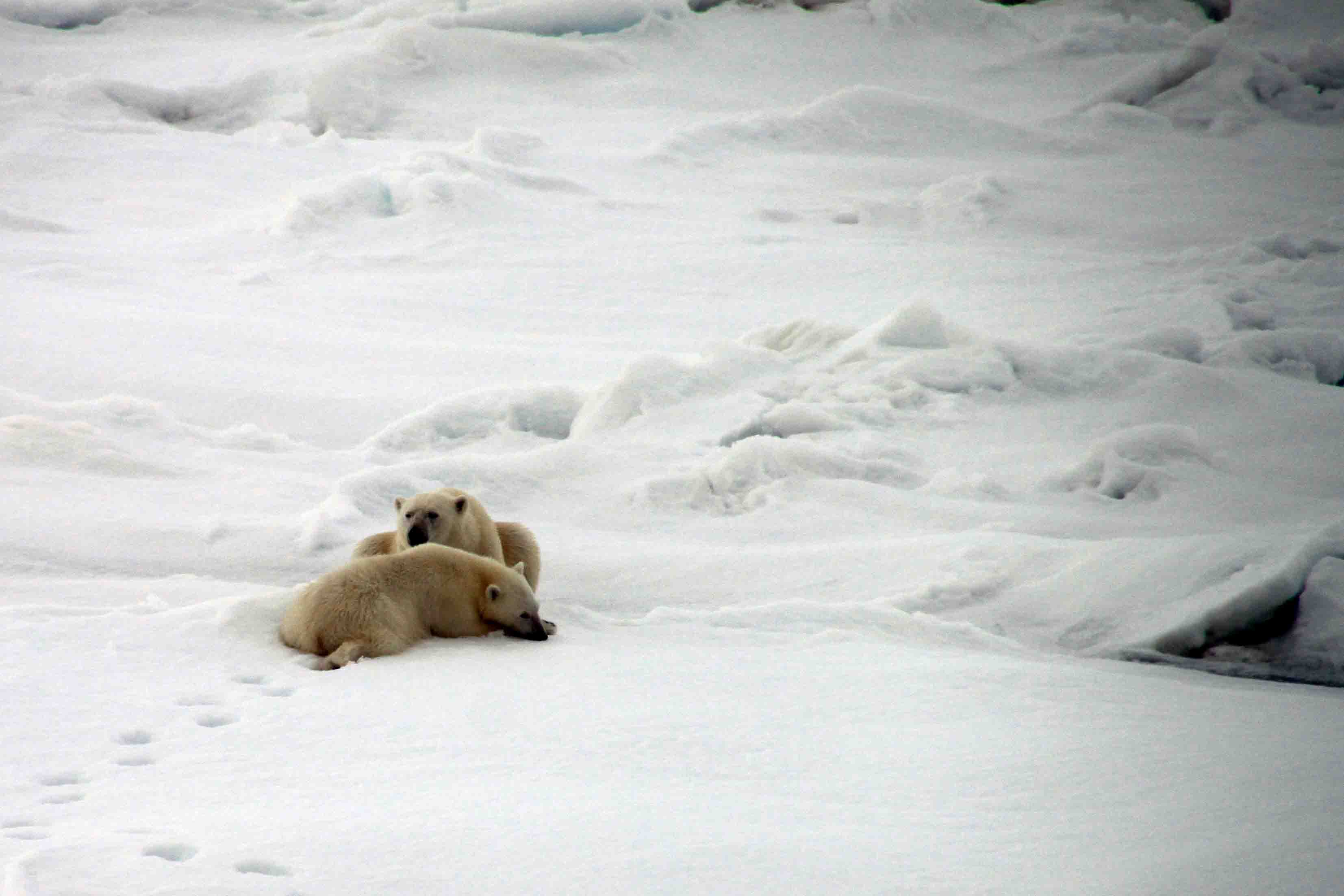 mama polar bear and cub resting