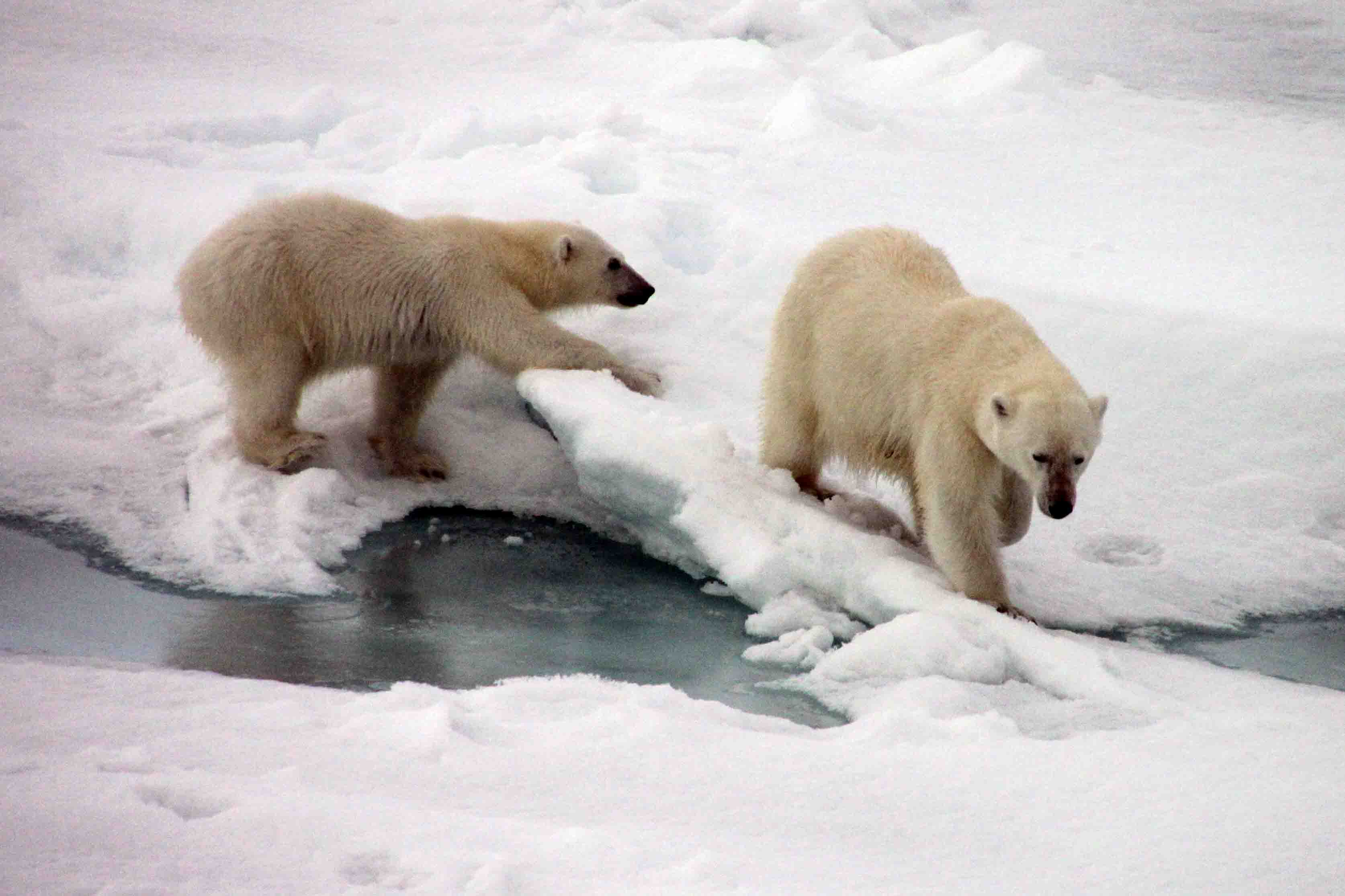 polar bear mama and cub skipping along the shore