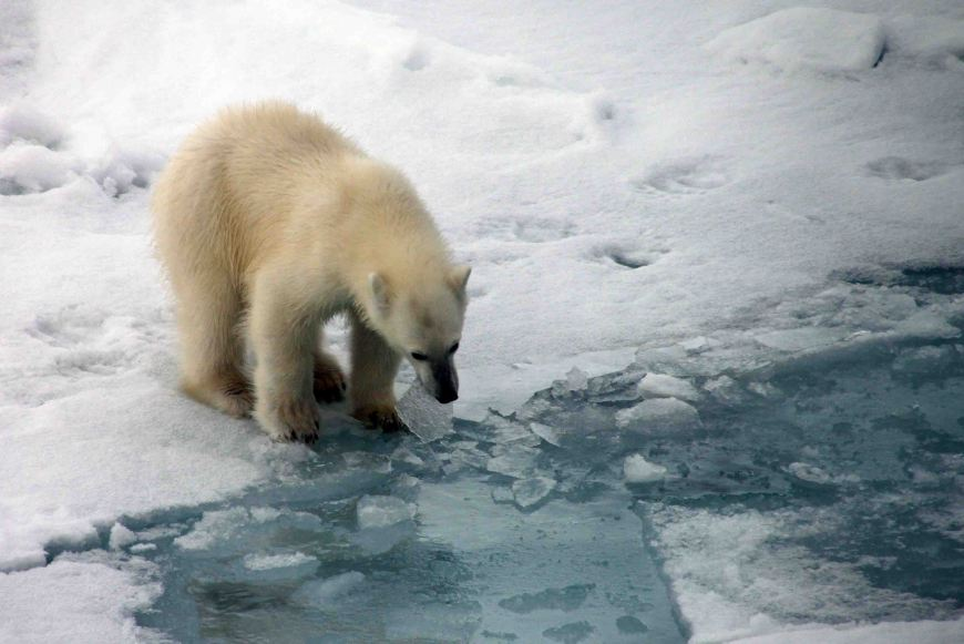 polar bear cub playing with ice