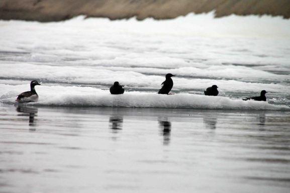 IMG_9667 ducks adventuresofacouchsurfer