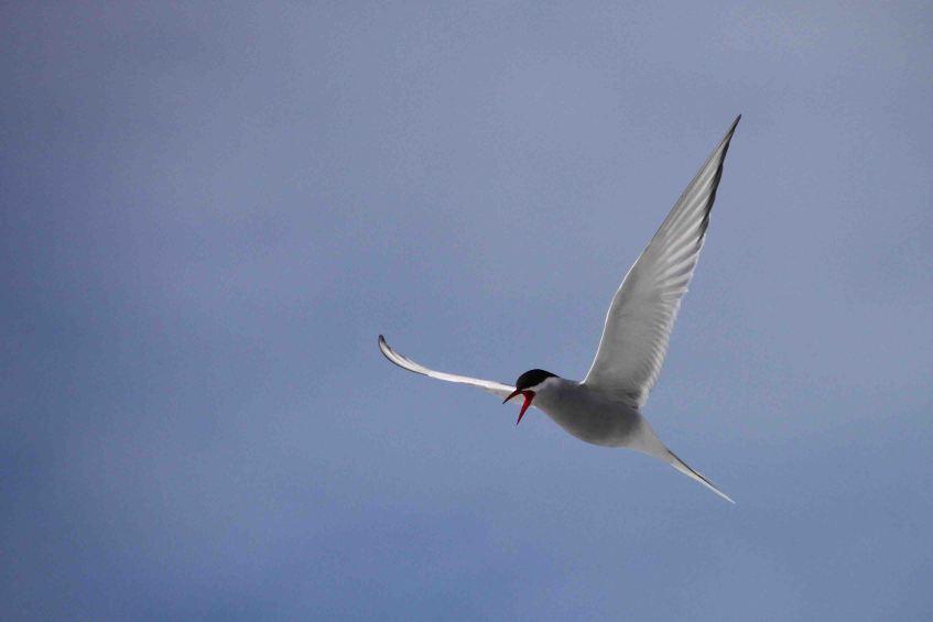IMG_9744 arctic tern adventuresofacouchsurfer