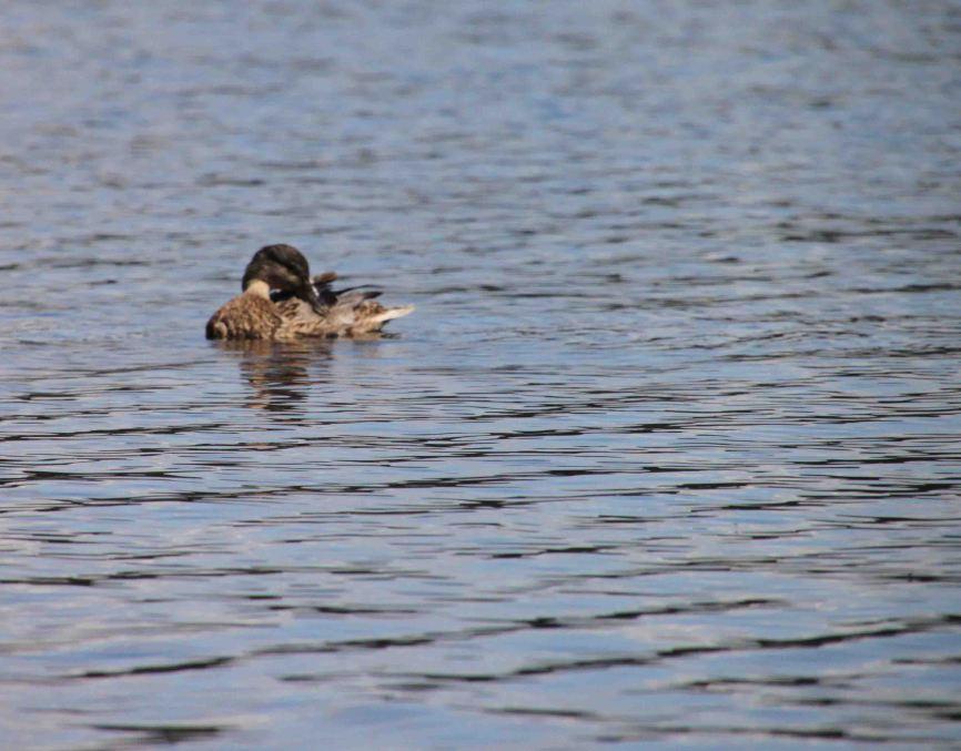 IMG_0387 duck