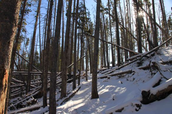 img_9532-lodge-pole-forest