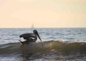img_9632-pelican