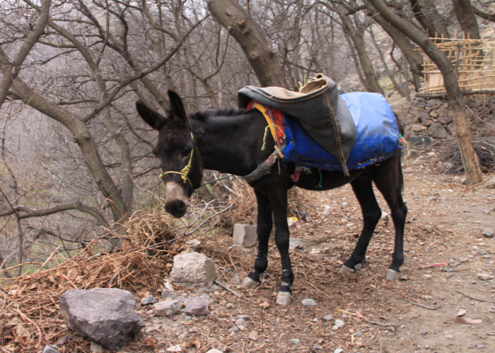 donkey in the high atlas mountains