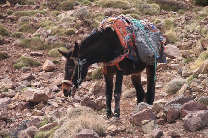 pack mule on tizi mzik trail