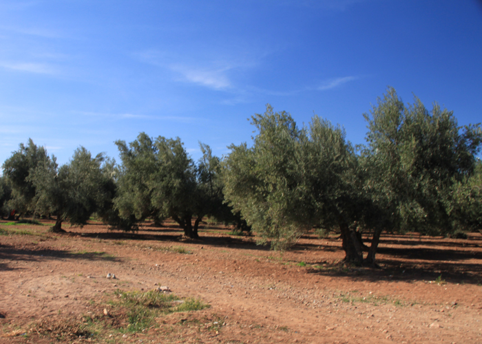 royal olive tree grove in Marrakesh