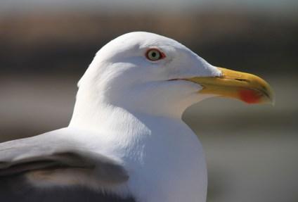 IMG_2905-seagull
