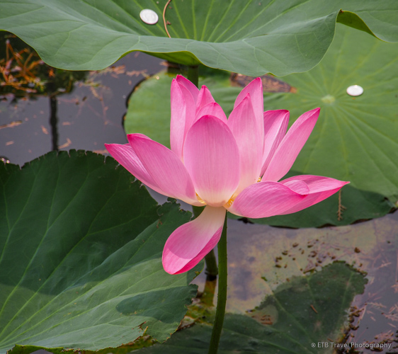 Lotus Flower in Beijing