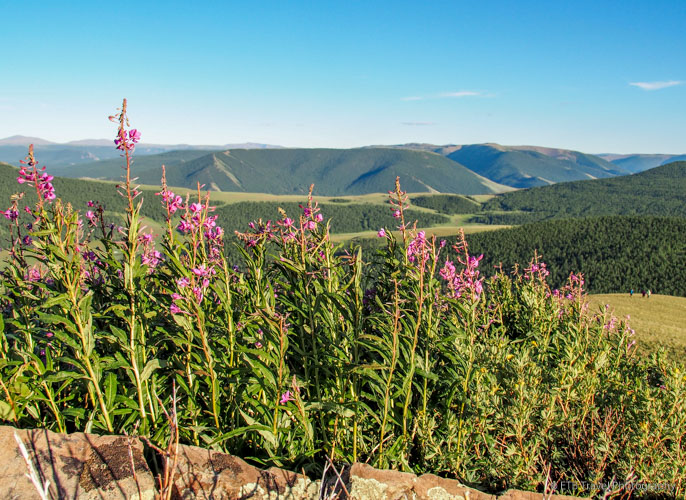 fireweed in mongolia