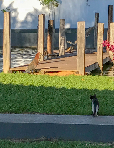 cat and heron going for the same fish