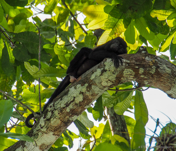Howler Monkey on Lake Gatun in Panama City