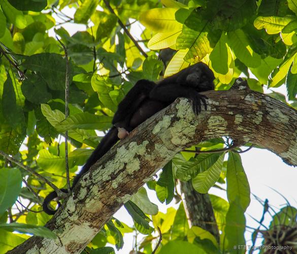 Howler Monkey on Lake Gatun in Panama City