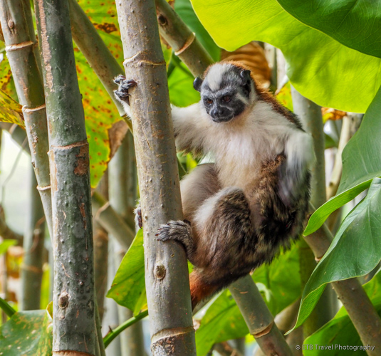 tamarin monkey on Lake Gatun in Panama City