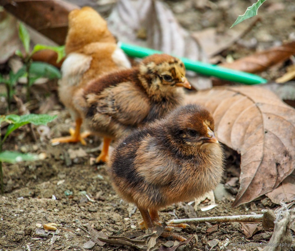baby chicks at indian village near panama city
