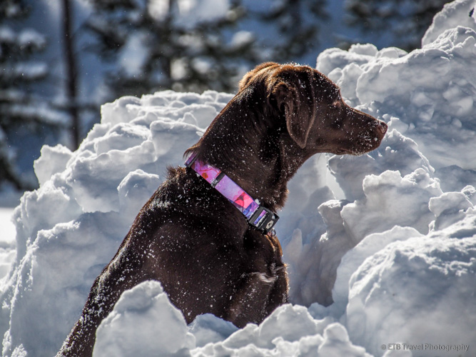 dogs that love snow